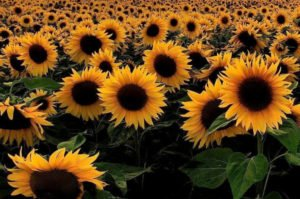 A field of sunflowers. We offer IPT treatment for various conditions