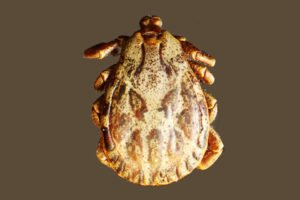 Image of a tick which causes Lyme disease. We treat Lyme naturally