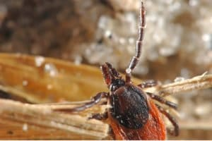Tick causing Lyme disease. We provide effective lyme treatment at LifeWorks