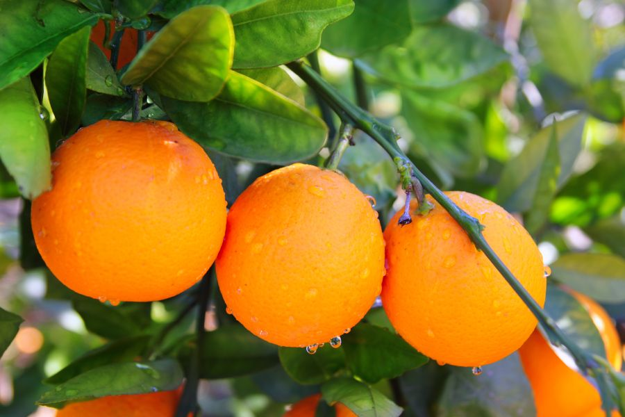 Oranges on a branch. We offer pesticide detoxification treatments